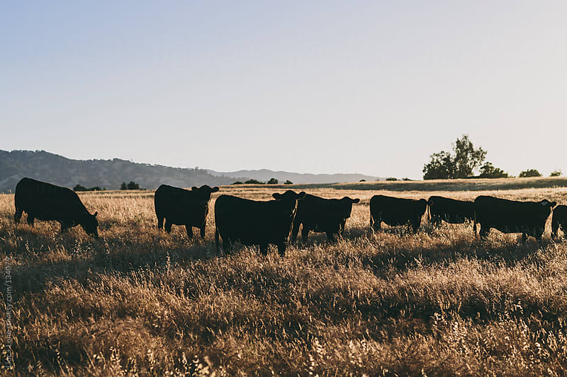 Black cows grazing in a field at sunset by Lior + Lone for Stocksy United