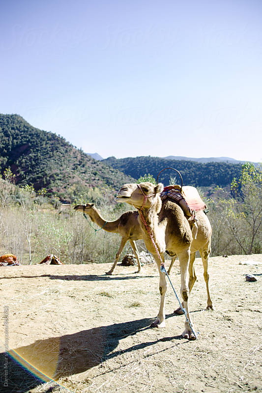 Camels by the side of a road into the high atlas mountains. by Darren Muir for Stocksy United