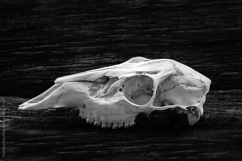 Skull of whitetail deer showing eye socket and teeth by Matthew Spaulding for Stocksy United
