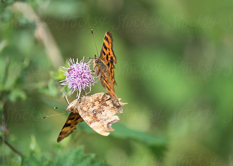 A pair of Comma Butterfly feeding on a wild flower. Norfok, UK. by Liam Grant for Stocksy United