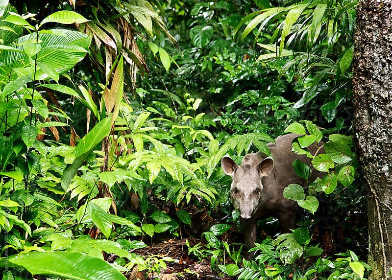Tapir in the Amazon  by Jon Attaway for Stocksy United