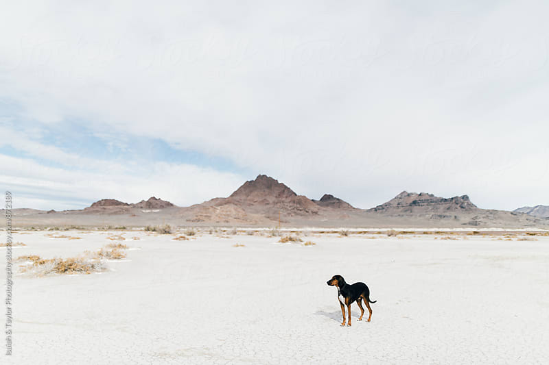 Dog standing in desert by Isaiah & Taylor Photography for Stocksy United