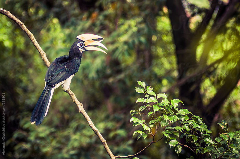 A Rhinocerous Hornbill Bird by Alexander Grabchilev for Stocksy United