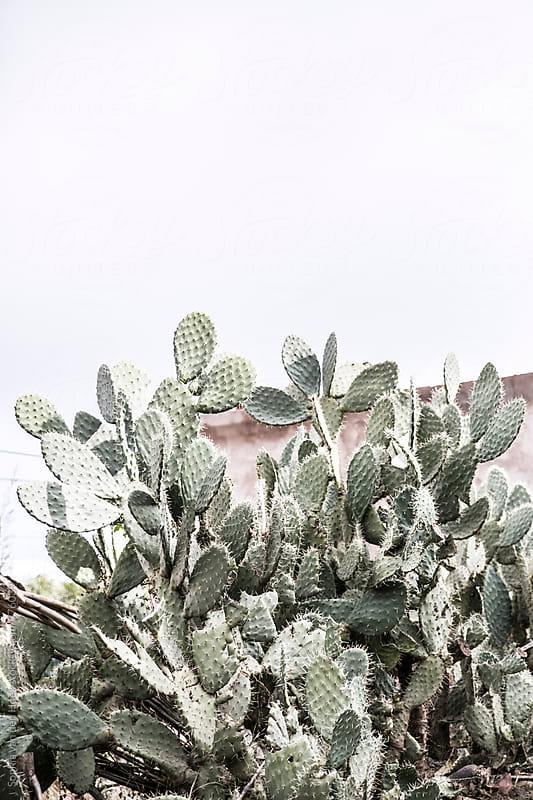 Cacti in Marrakech by Sophia van den Hoek for Stocksy United