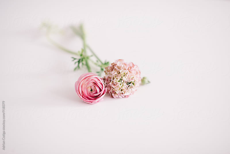 Ranunculus and hydrangeas on a white background by Adrian Cotiga for Stocksy United