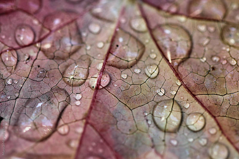 Water drops on an autumn leaf by Monica Murphy for Stocksy United