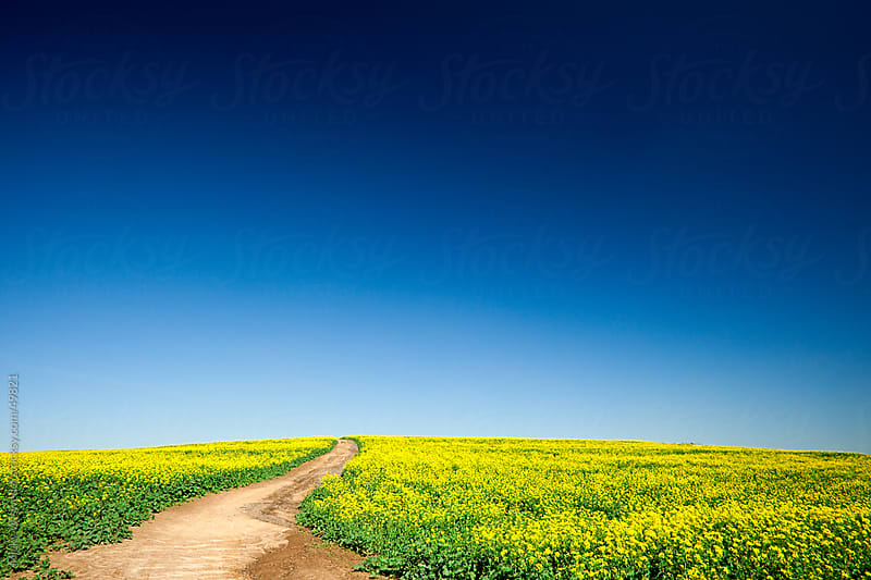 Empty country road through flowering canola fields by Micky Wiswedel for Stocksy United