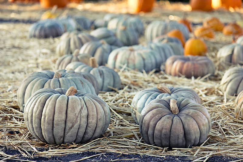 Group of grey pumpkins at the pumpkin patch by Monica Murphy for Stocksy United