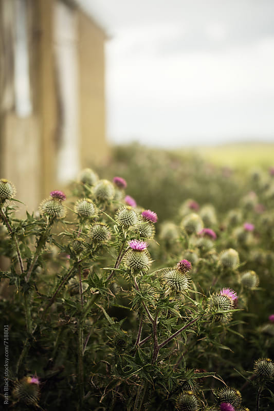 Thistles growing wild outside a cottage in Scotland by Ruth Black for Stocksy United