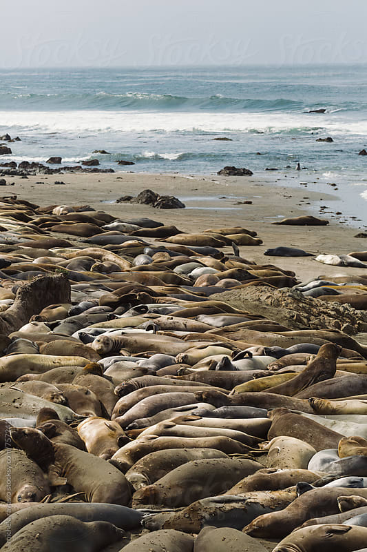 A colony of sea lions beached on the coast of California by michela ravasio for Stocksy United