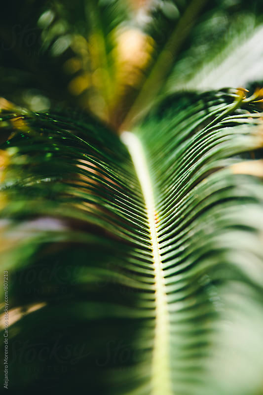 Close up of the top of a palm tree with its lieves by Alejandro Moreno de Carlos for Stocksy United