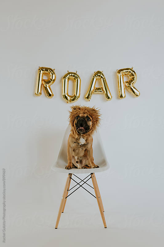 A Dog Wearing a Lion Mane Roaring with Roar Balloon Letters That Spell out Roar by Rachel Gulotta Photography for Stocksy United
