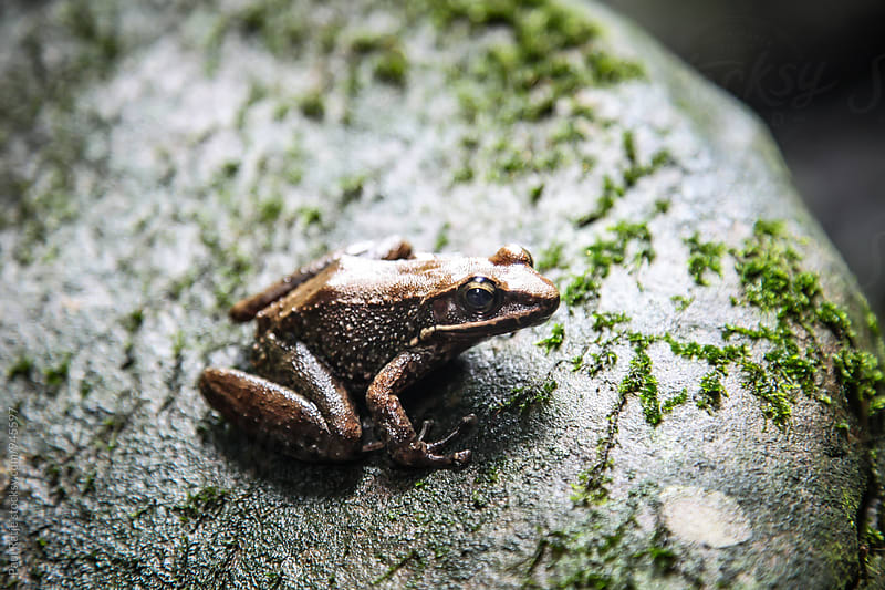 Frog on a Rock by Paul Ratje for Stocksy United