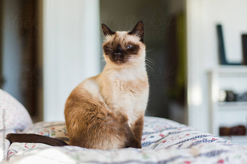 SIamese cat sits with funny face on quilt in bedroom by Laura Stolfi for Stocksy United