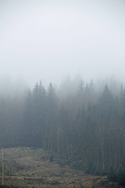 Fir trees in the mist by Jon Attaway for Stocksy United