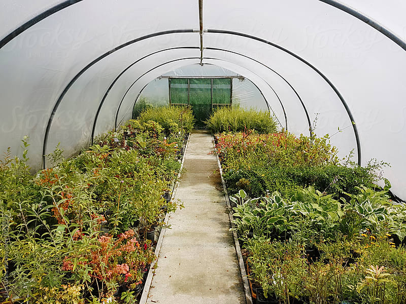 Plants growing in a polytunnel. Derbyshire, UK. by Liam Grant for Stocksy United