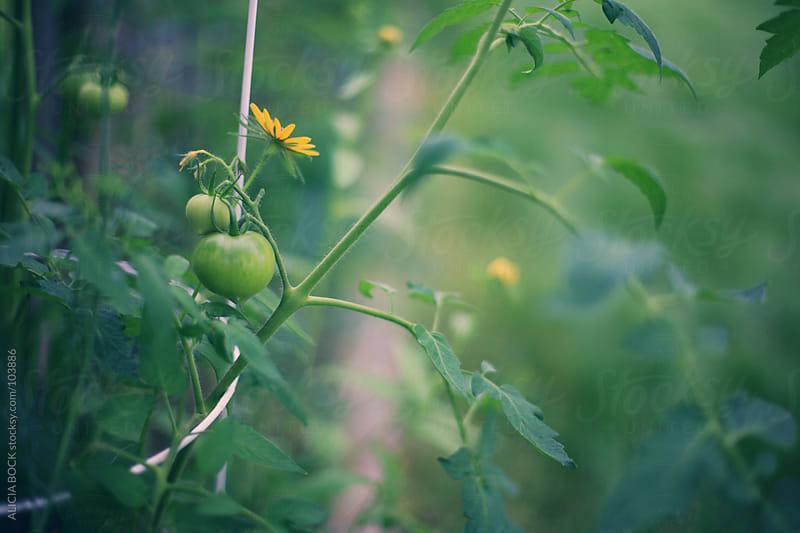 Green Tomato In The Garden by ALICIA BOCK for Stocksy United