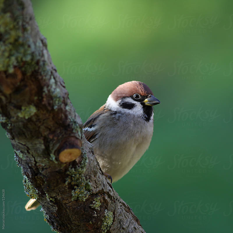 Eurasian tree sparrow by Marcel for Stocksy United