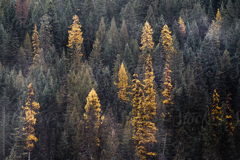 Yellow Tamarack trees in the fall by Justin Mullet for Stocksy United