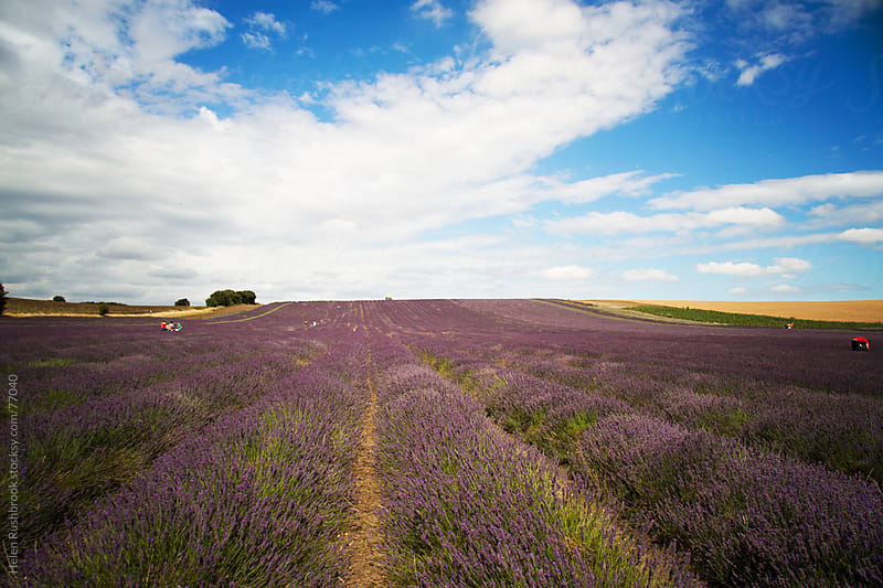 Lavender Fields by Helen Rushbrook for Stocksy United