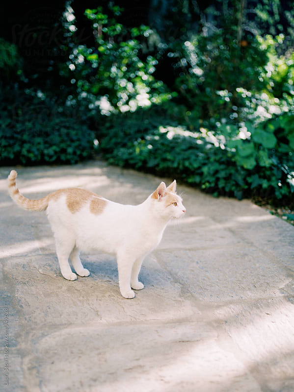 White and ginger cat standing on garden pavement by Laura Stolfi for Stocksy United