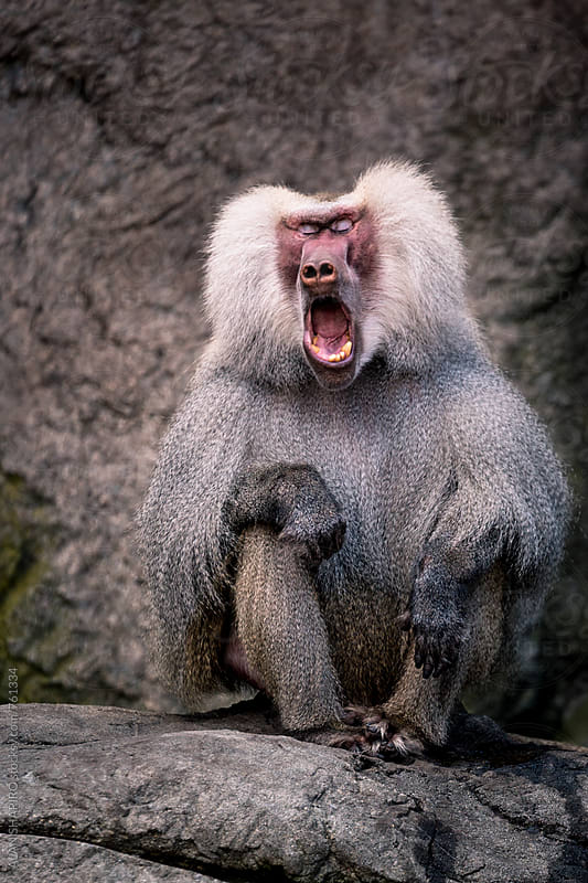 hamadryas baboon yawning by alan shapiro for Stocksy United