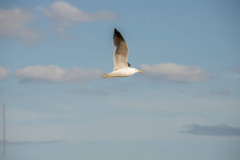 A seagull in mid flight shot side on by Mike Marlowe for Stocksy United
