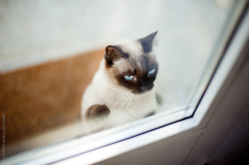 Siamese cat knocking on glass door by Laura Stolfi for Stocksy United