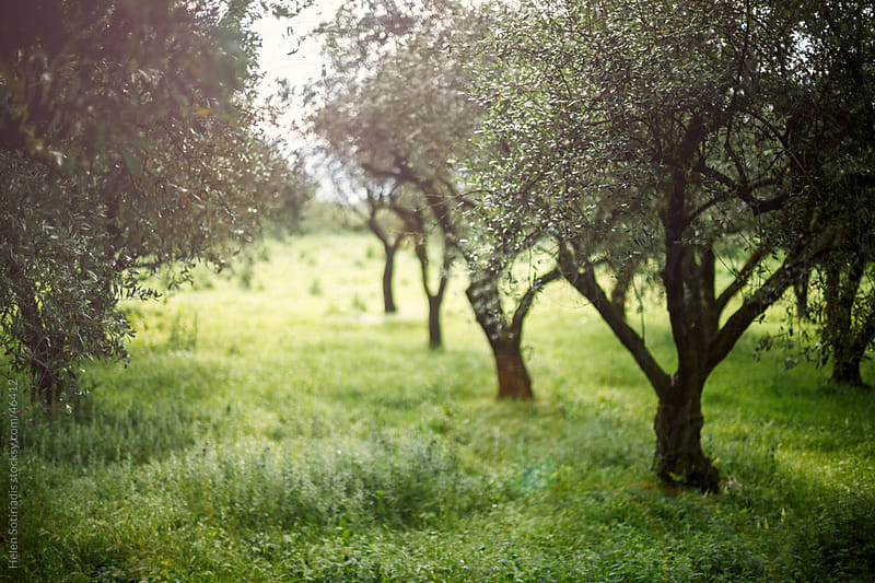 Olive Trees by Helen Sotiriadis for Stocksy United