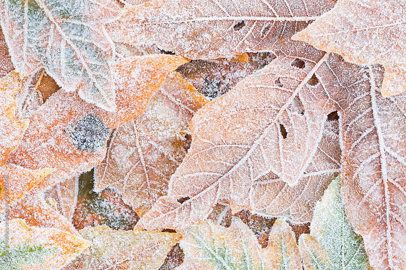 Frost on maple leaves, closeup by Mark Windom for Stocksy United