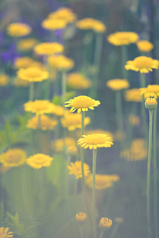 Yellow daisy flowers by Pixel Stories for Stocksy United