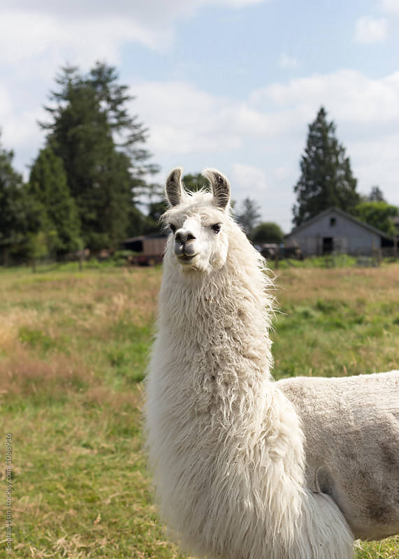 Grumpy looking white llama by Sophia Hsin for Stocksy United