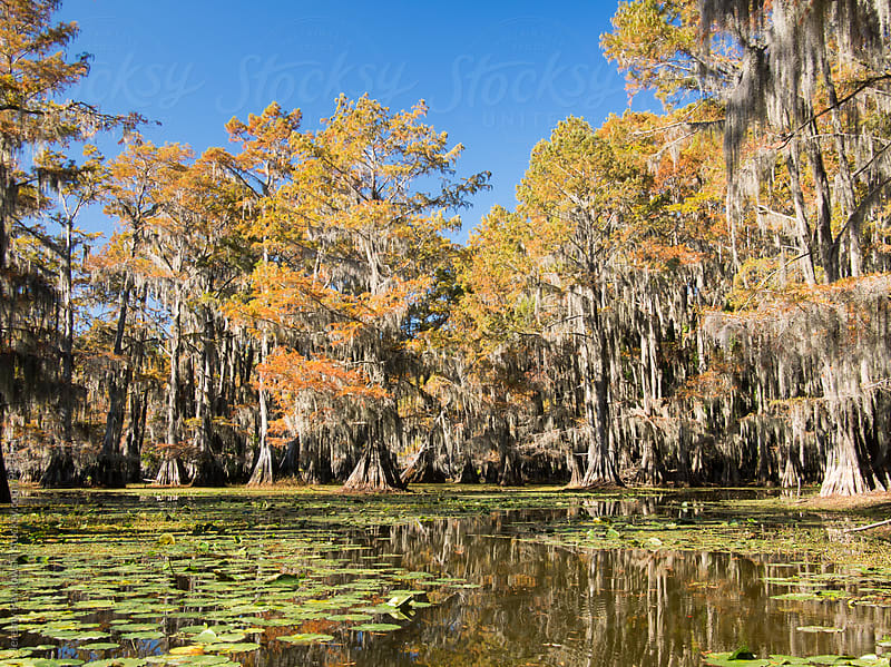 Cypress trees, spanish moss, lily pads. Swamp during autumn. by Jeremy Pawlowski for Stocksy United