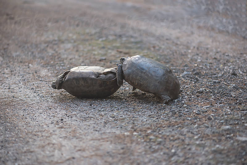 Two Gopher Tortoises FIght by Alison Winterroth for Stocksy United