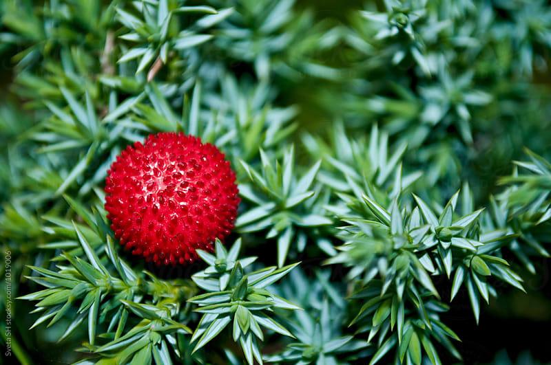 Strawberry by Svetlana Shchemeleva for Stocksy United