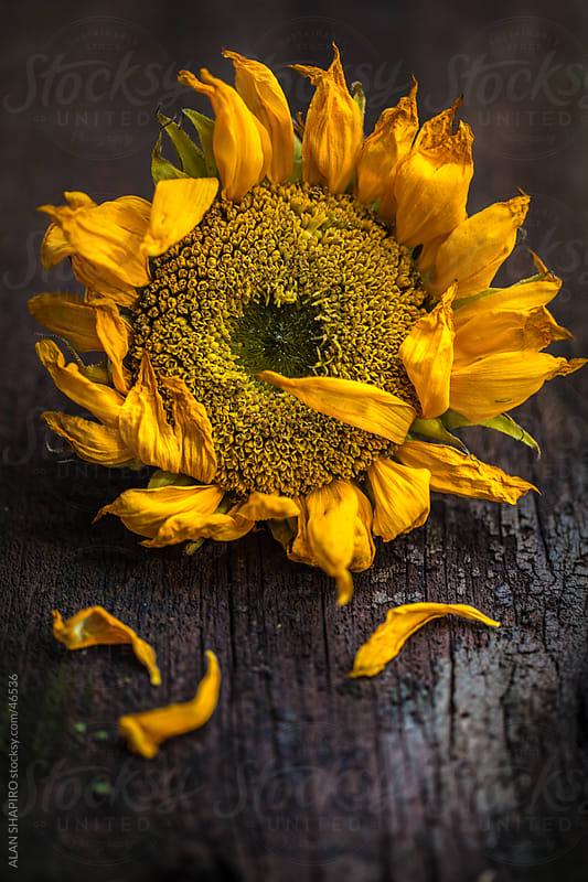 Sunflower feeling frazzled by alan shapiro for Stocksy United