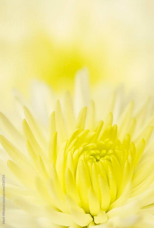 Chrysanthemum blossom, closeup by Mark Windom for Stocksy United