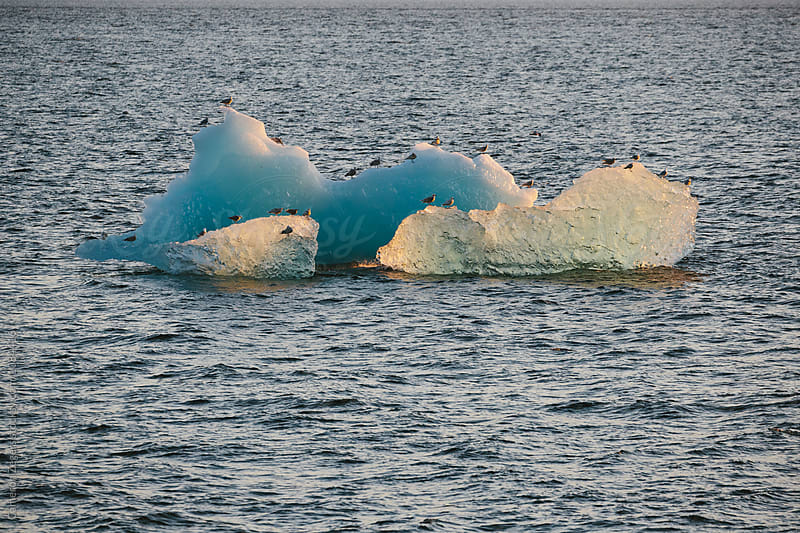 sea gulls on iceberg by Cameron Zegers for Stocksy United