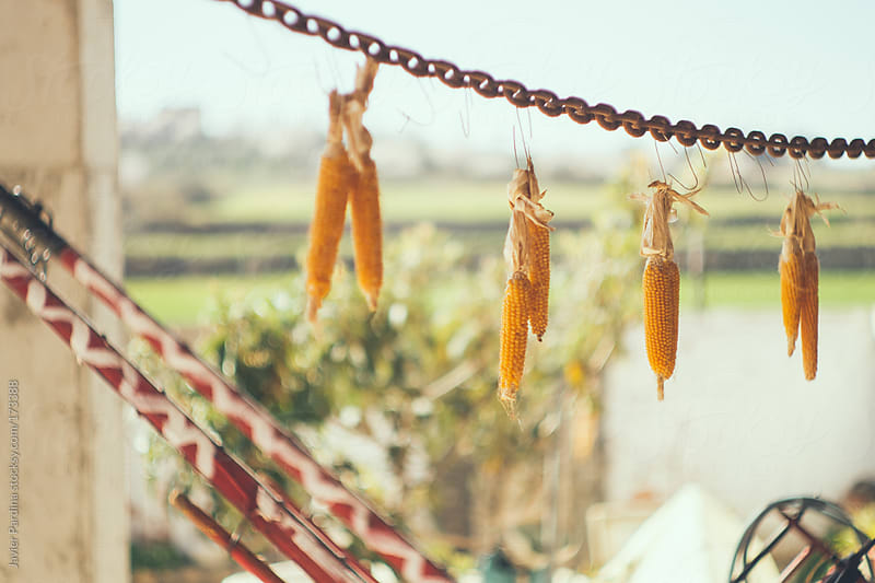 corn plants drying by Javier Pardina for Stocksy United