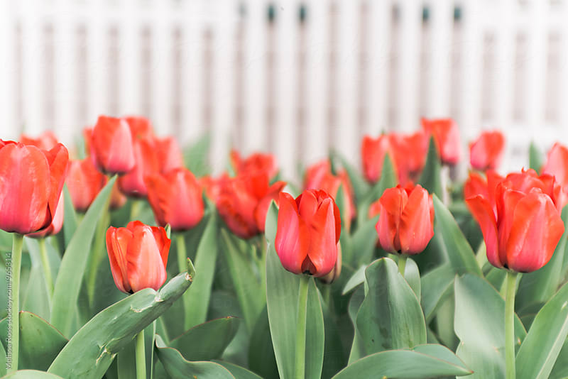Red tulips in front of a white fence by Melissa Ross for Stocksy United