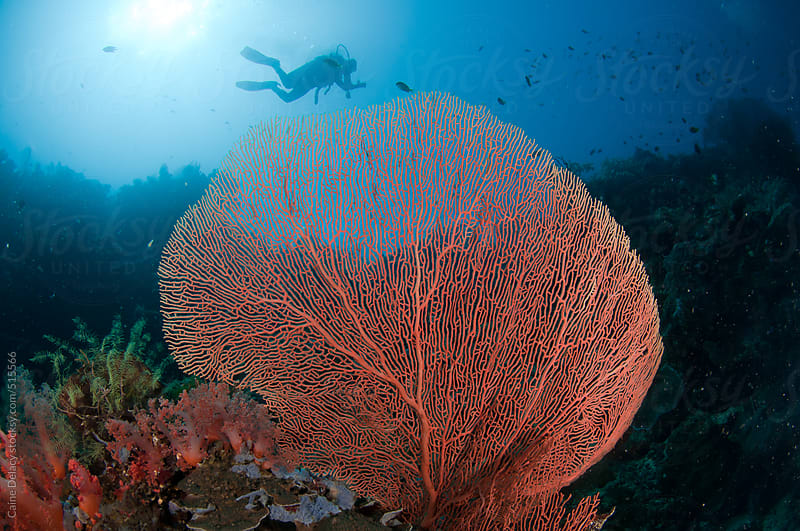 Scuba diver behind giant sea fan by Caine Delacy for Stocksy United