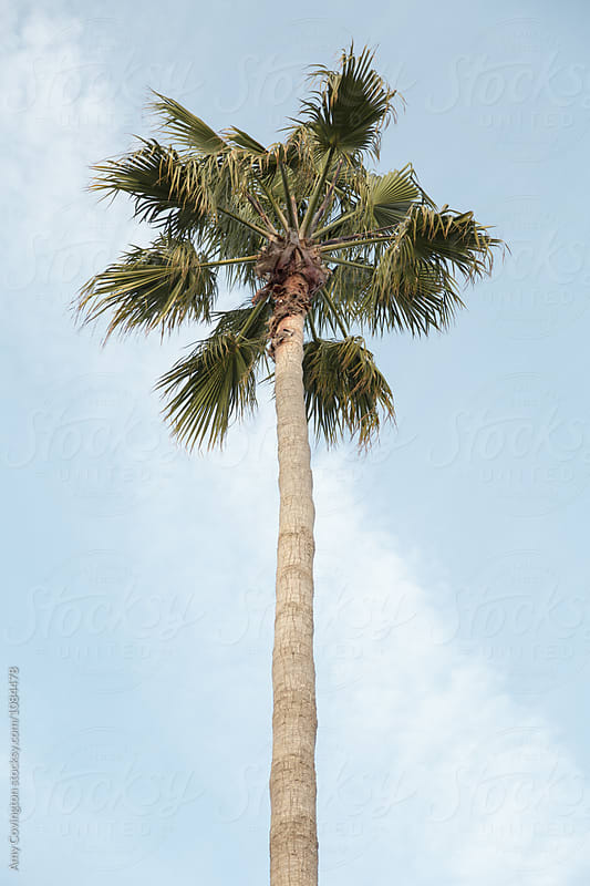 Palm tree by Amy Covington for Stocksy United