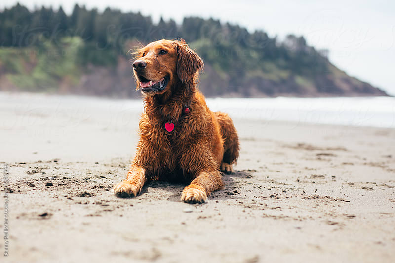 Golden retriever on the beach by Danny Pellissier for Stocksy United