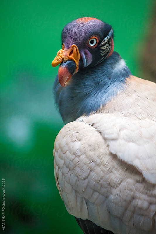 King Vulture by alan shapiro for Stocksy United