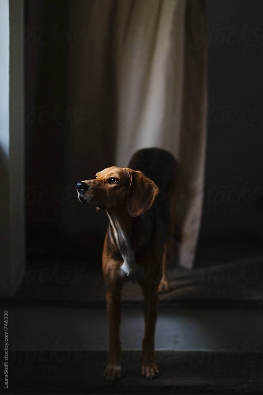 Dog stands on stairs and looks out of window waiting for her owner to come back, rainy day by Laura Stolfi for Stocksy United