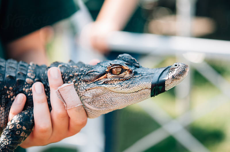 hands hold baby alligator with mouth taped closed by Deirdre Malfatto for Stocksy United