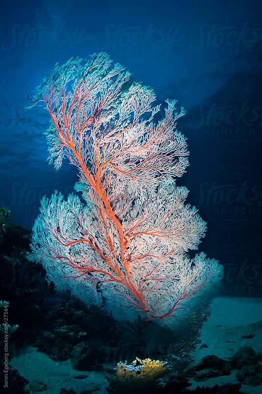 White sea fan coral on the reef underwater in Thailand by Søren Egeberg Photography for Stocksy United