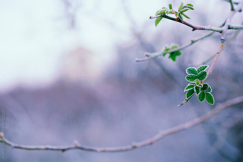 Frosted branch by Pixel Stories for Stocksy United