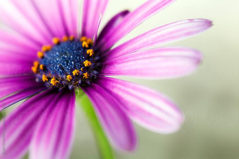 Purple blossom by ALAN SHAPIRO for Stocksy United