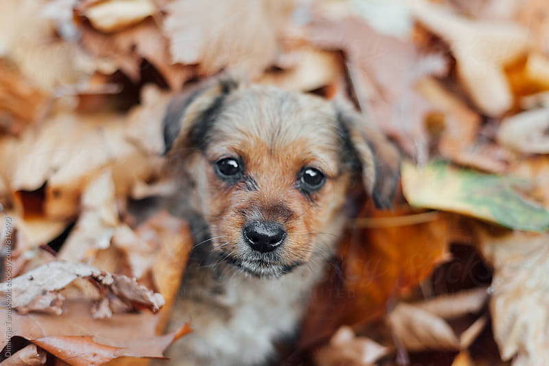 Brown puppy hiding in the fallen leaves by Dimitrije Tanaskovic for Stocksy United
